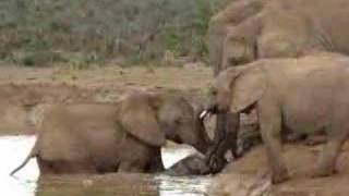 Download Baby Elephant rescue Video