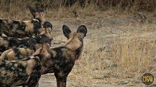 Download safariLIVE - Sunrise Safari - August 31, 2019 Video