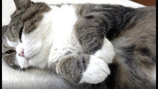 Download お手手を触るのはNGなねこ。-It is ban to touch Maru's forefoot.- Video