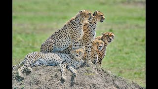 Download Crazy Cheetahs in Masai mara- Cheetah family Video