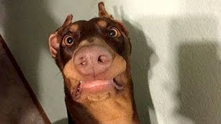 Download Funny dogs never fail to make you happy and smile - Funny dog compilation Video