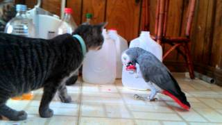 Download Smart parrot makes kittens a toy. Video