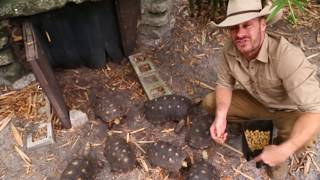 Download How to Care for the Redfoot Tortoise Video