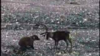 Download Grizzly Bear vs Caribou Video