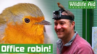 Download Wild goose chase with office robins! Video