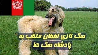 Download سگ تازی افغان ملقب به پادشاه سگ ها Video