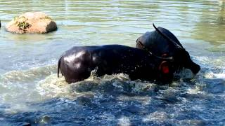 Download Langer house Yadav bastis bull fight Video