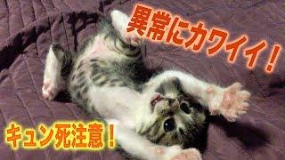 Download 仔猫がひたすらカワイイ動画。バサラちゃんの蔵出し映像です。 Video
