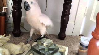 Download Cockatoo finding out he is going to the vet Video