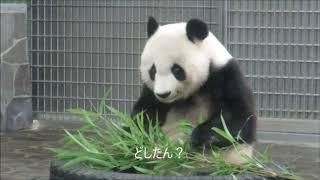 Download 朝食の途中でパンダが突然びっくりするからびっくりするやん2018年7月2日 Video