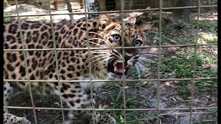 Download Leopard with an Attitude!! Video
