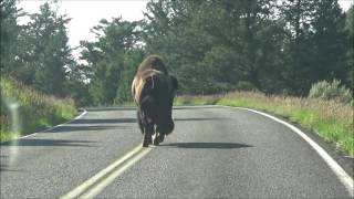 Download Bison Headbutts Car in Yellowstone National Park Video