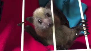 Download Baby bat tries to escape his nursery basket: Pretzel is a big boy now Video