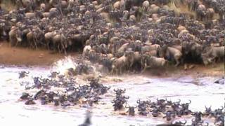 Download AMAZING FOOTAGE OF WILDEBEEST CROSSING THE MARA RIVER Video