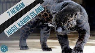 Download Perkawinan Jaguar Dan Singa!! INILAH 7 HEWAN HASIL KAWIN SILANG Video