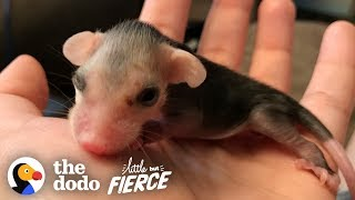 Download Tiniest Pink Baby Opossum Grows up to Be Adorably Ferocious | The Dodo Little But Fierce Video