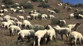 Download A Year in the Life of Raising Sheep in Idaho Video