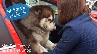 Download Alas Mật khôn quá trời khôn, lầy lội đủ trò đòi đi làm với chủ ::) - Mật Pet Family Video