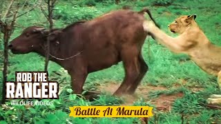 Download BATTLE AT MARULA (Lions vs Buffalo) (HD) Video