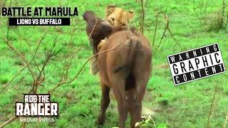 Download BATTLE AT MARULA (Lions vs Buffalo) (HD) Video