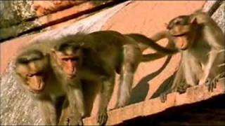Download BBC Natural world - The Monkey Prince PART 5 Video