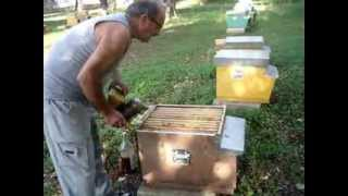 Download Apicoltura - Una prevenzione contro la Varroa. (Parte 1) Video
