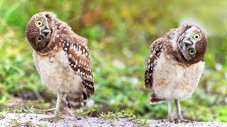 Download Funny Owls (NEW) (HD) [Funny Pets] Video