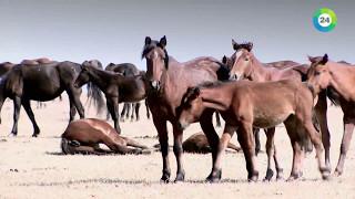 Download Как казахи приручили лошадей. Документальный фильм. Video
