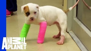 Download Remember Blanche? Cute Puppy in Casts, with the STINKIEST Poo Video
