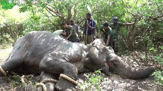 Download Elephant stabbed 20 - 30 times by a tusker being saved by Sri Lankan Officers Video