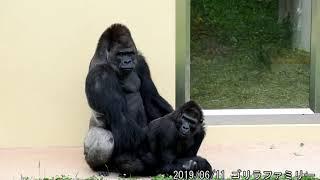 Download シャバーニの交配 ゴリラ shabani family gorilla Mating 東山動植物園 20190611 Video