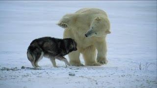 Download Not just a man's best friend! - Nature's Weirdest Events - Episode 1 - BBC Two Video