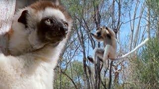 Download Sifaka Lemurs Jumping Around   Attenborough   BBC Earth Video