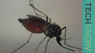 Download Can genetically-modified mosquitoes help eradicate malaria? - TechKnow Video