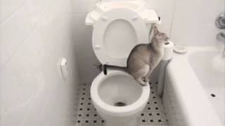 Download Just PERFECT, A Cat Using a Toilet, A Toilet Flushing Automatically. Video