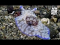 Download This rare snail is the Cinderella of the sea | New York Post Video