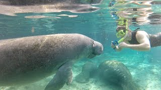 Download Swimming with Florida manatees Video
