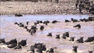 Download The Great Wildebeest Migration & River Crossing in Tanzania - August 2014 Video