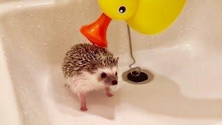 Download ハリネズミのお風呂の入れ方 Hedgehog's bath Video