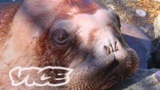 Download Cute Baby Walrus! Video