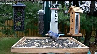 Download Picking Up Peanuts: The Way of the Blue Jay - Nov. 10, 2016 Video