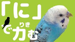 Download うめのお喋り 「に」でりきむ! セキセイインコ Talking budgerigar Video