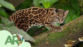 Download Felinos de Costa Rica Video