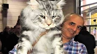 Download 14 BIGGEST Cats in the World Video