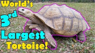Download Sulcata Tortoises: Facts and Care Tips! Video