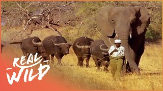Download Incredible Elephant Thinks She's a Buffalo | Wild Things Documentary Video