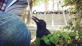 Download カラスに話しかけた結果 Crow comes to me!! jungle crow ハシブト ハシボソ 幼鳥 かわいい 子供 Video