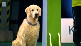 Download Hilarious Golden Retriever Really Wants To Race But.. First Things First. Video