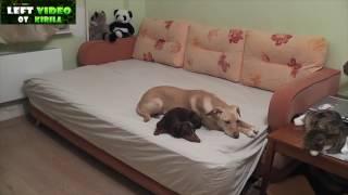 Download Что делают Собаки когда их хозяев нету дома,Подборка Video