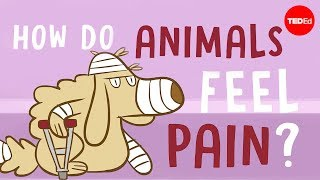 Download How do animals experience pain? - Robyn J. Crook Video